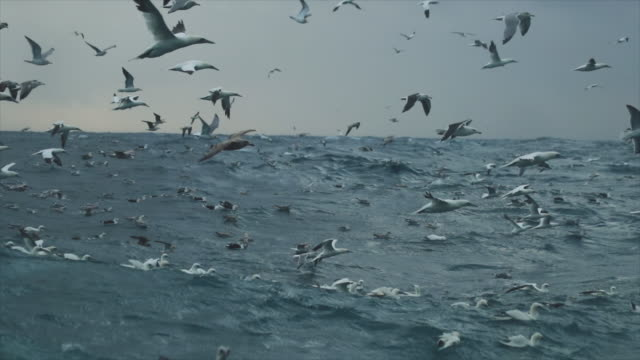 northern gannet bird: feeding frenzy behavior - sea bird stock videos and b-roll footage
