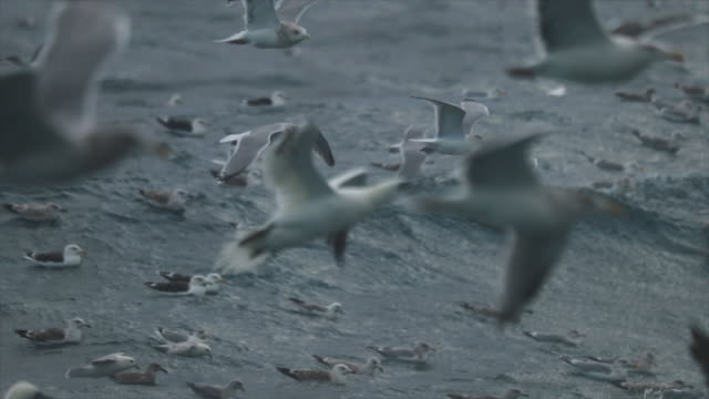 stockvideo's en b-roll-footage met noordelijke genten vogel: feeding frenzy gedrag - nautical vessel