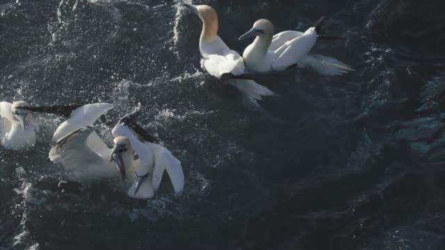 northern gannet bird: feeding frenzy behavior - northern gannet stock videos & royalty-free footage