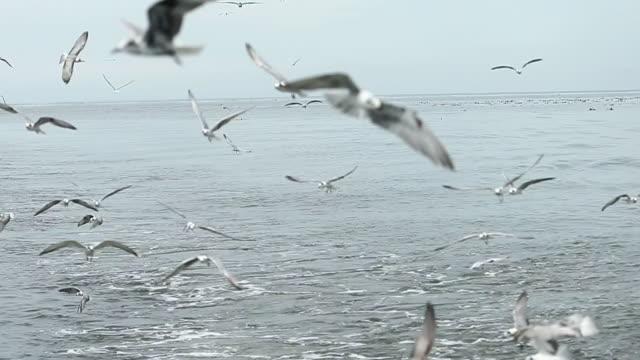 basstölpel vogel raserei fressverhalten. - dokumentarfilmmaterial stock-videos und b-roll-filmmaterial