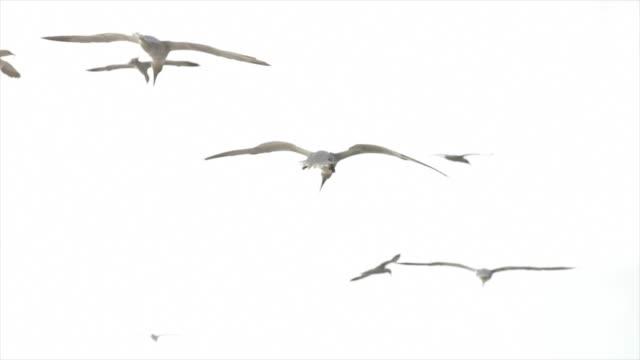 northern gannet bird: flying free - northern gannet stock videos & royalty-free footage