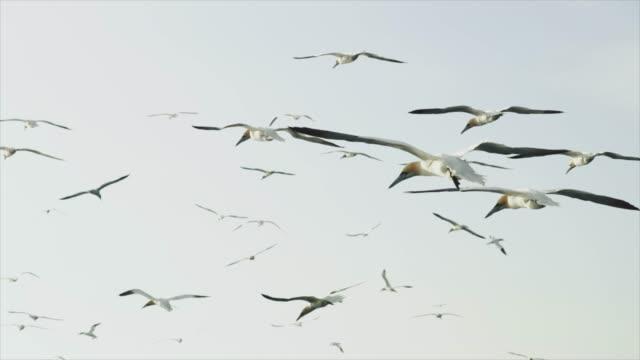 vídeos de stock, filmes e b-roll de pássaro do gannet do norte: voando livre - ganso patola
