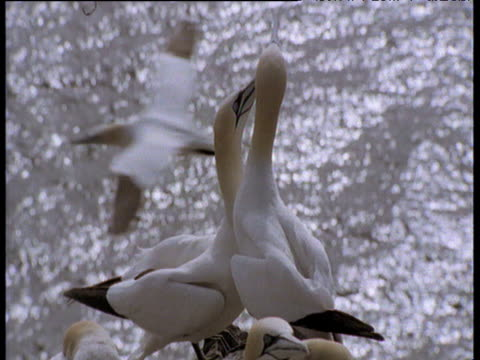 northern gannet couple in courtship, shake heads and touch bills, bass rock, scotland - northern gannet stock videos & royalty-free footage