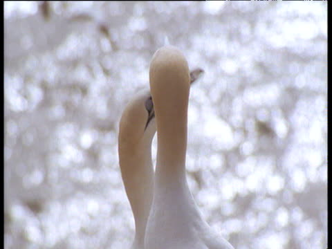 northern gannet couple performing courtship display, shake heads and touch bills, bass rock , scotland - northern gannet stock videos & royalty-free footage