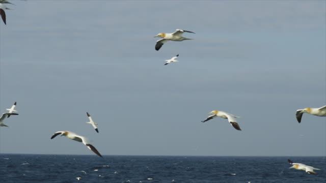 vídeos de stock, filmes e b-roll de ganso do norte: comportamento de frenesi alimentar - ganso patola