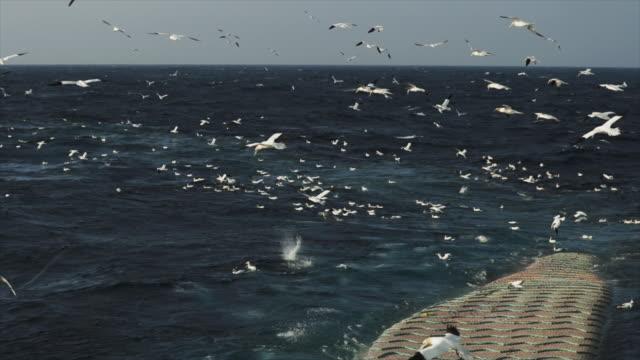 northern gannet: feeding frenzy behavior - northern gannet stock videos & royalty-free footage