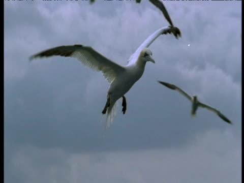 northern gannet flying, bass rock, uk - northern gannet stock videos & royalty-free footage