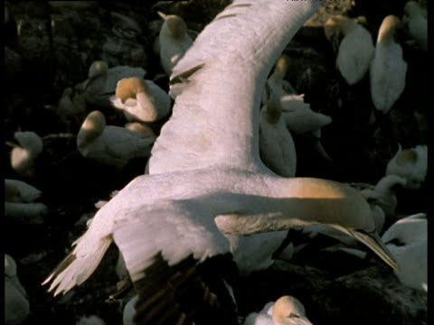 northern gannet head, gannet in flight over colony, chick looks up, gannet hovers, bass rock, scotland. - northern gannet stock videos & royalty-free footage