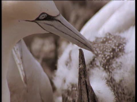 northern gannet regurgitates food into chick's beak, bass rock, scotland - receipt stock videos & royalty-free footage