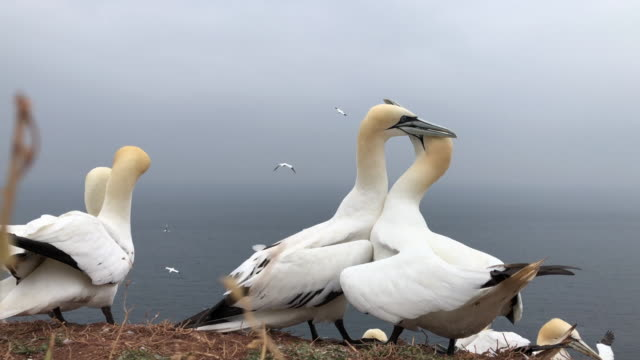 northern gannet - helgoland stock videos & royalty-free footage
