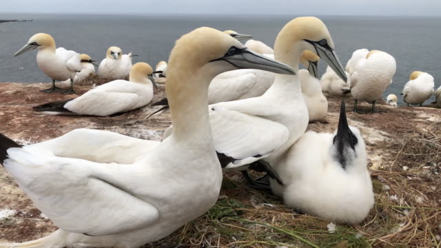 northern gannet - northern gannet stock videos & royalty-free footage