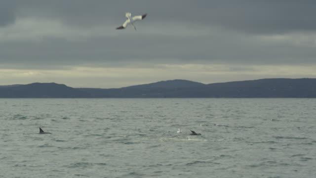 vídeos de stock, filmes e b-roll de northern gannets (morus bassanus) plunge dive into irish sea, ireland - ganso patola