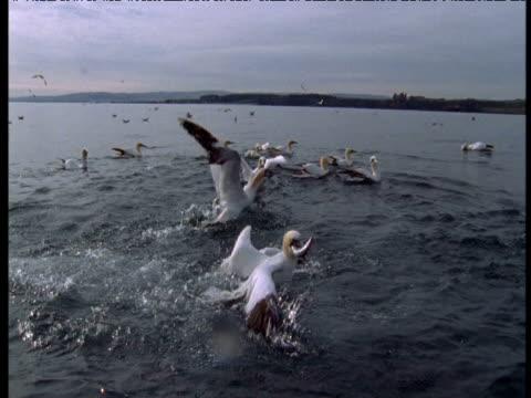 vídeos y material grabado en eventos de stock de northern gannets plunge feeding, bass rock, uk - río firth of forth