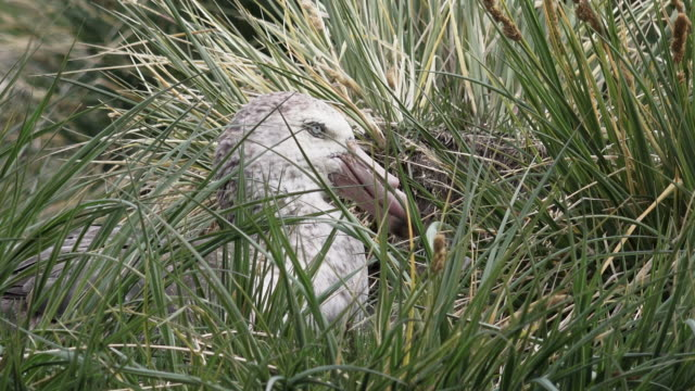 northern giant petrel on nest, ocean harbor, south georgia island, southern ocean - insel south georgia island stock-videos und b-roll-filmmaterial