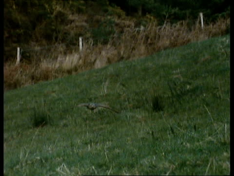 MS Northern Goshawk (Accipiter gentilis) swooping low over grass, to and past camera, UK