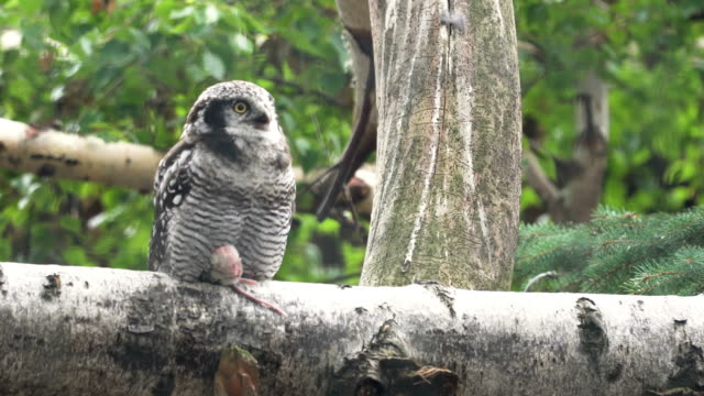 northern hawk owl with its food that is rat on its feet - owl stock videos & royalty-free footage