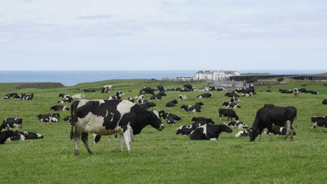 northern ireland dairy cows graze near the shore.mov - cattle stock videos & royalty-free footage
