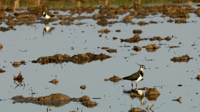 northern lapwing in ebro's delta, searching food in the mud - migrazione animale video stock e b–roll