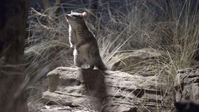 northern quoll sitting up on hind legs, sniffing and foraging for food - foraging stock videos & royalty-free footage