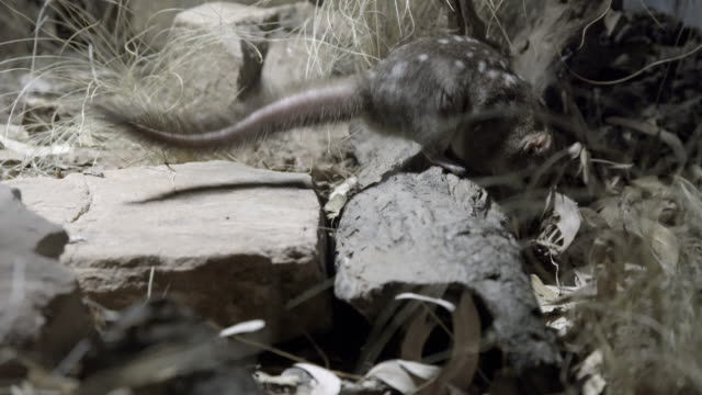 northern quoll sniffing and foraging for food - foraggiamento video stock e b–roll