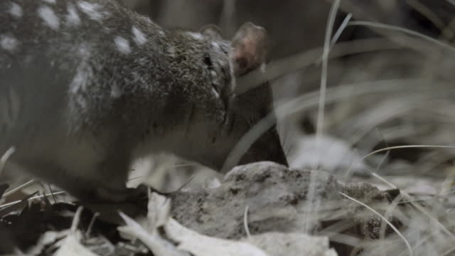 northern quoll sniffing and foraging for food - foraging stock videos & royalty-free footage