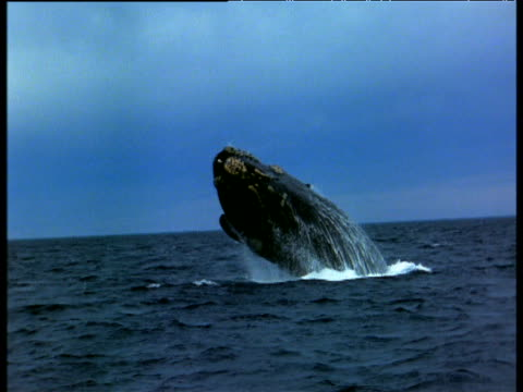 stockvideo's en b-roll-footage met northern right whale breaches, bay of fundy - atlantische oceaan