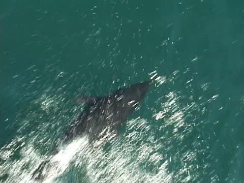 vídeos y material grabado en eventos de stock de northern right whale dolphins bow riding - grupo pequeño de animales