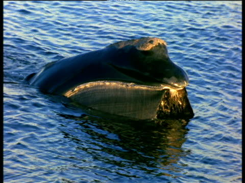 Northern Right Whale feeds at surface, Bay of Fundy