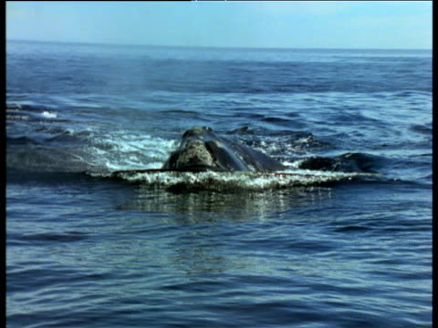 Northern Right Whale surfaces, Bay of Fundy