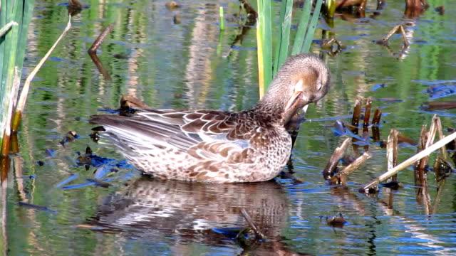 stockvideo's en b-roll-footage met northern shoveler duck - vogeljacht