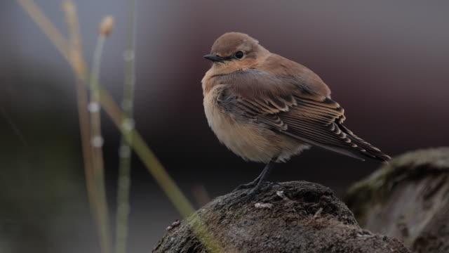 アルタイ自然保護区の木の上に座っている北の小麦または小麦(オエナンテ・オエナンテ) - スズメ亜目点の映像素材/bロール