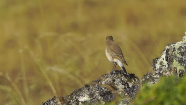 northern wheatear (oenanthe oenanthe) - songbird stock videos & royalty-free footage