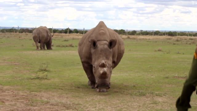 northern white rhinoceroses are seen at ol pejeta conservancy, a 90,000-acre not-for-profit wildlife conservancy, in central kenya's laikipia county... - extinct stock videos & royalty-free footage