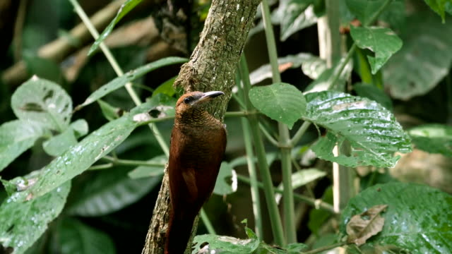 northern-barred woodcreeper (dendrocolaptes sanctithomae)  feeding on tree at carrara national park - 迷彩柄点の映像素材/bロール