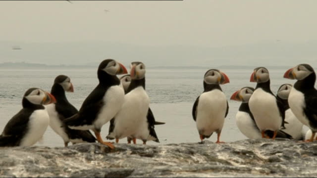 northumberland: farne islands: ext puffins gathered together, puffin having head measured by scientist, scientist searching for puffins down hole and... - farne islands stock videos & royalty-free footage