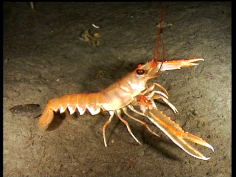 norway lobster jumps backwards from shrimp causing silt cloud, norway - lobster stock videos & royalty-free footage