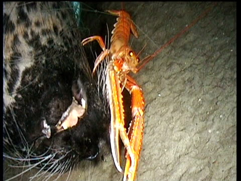 Norway lobster scavenging head of dead seal tangled in rope, Norway