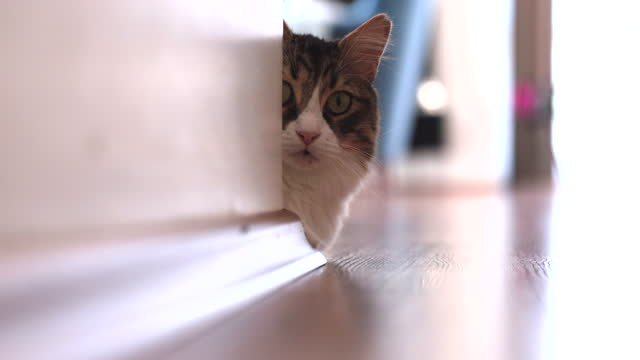 norwegian forest cat looking out from behind the wall at home - peeking stock videos & royalty-free footage