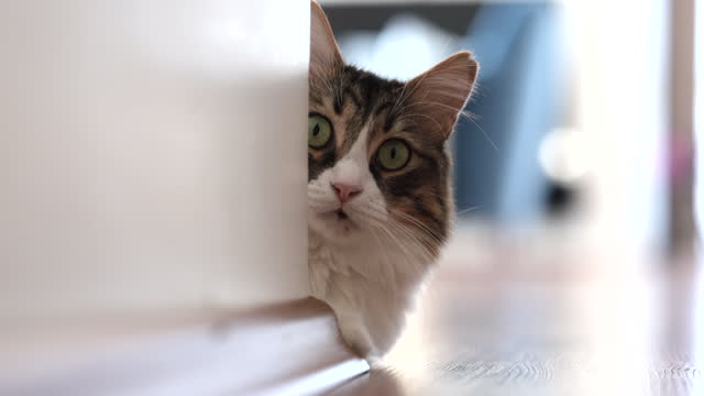 norwegian forest cat looking out from behind the wall at home - hiding stock videos & royalty-free footage