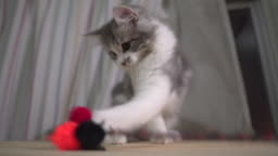 Norwegian forest kitten playing wool ball