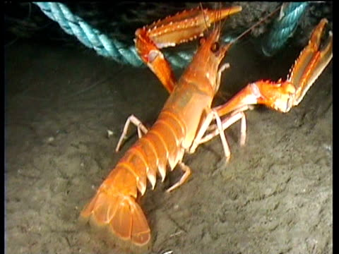 norwegian lobster near dead grey seal tangled in rope on bed of fjord, norway - prawn animal stock videos and b-roll footage