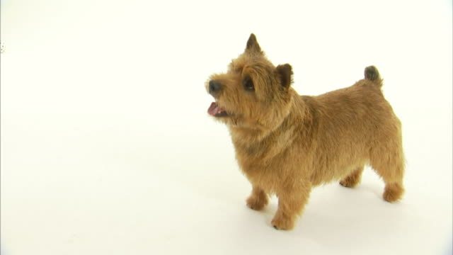 a norwich terrier looks up and wags its tail. - tail stock videos & royalty-free footage