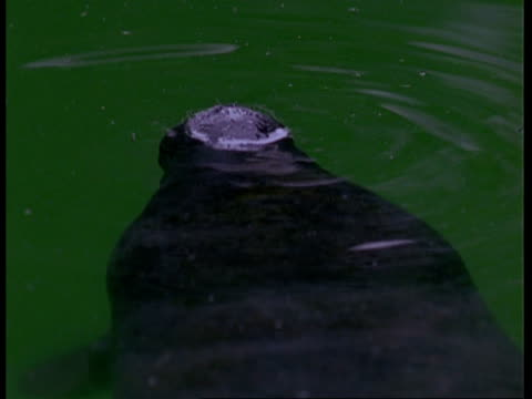 cu nostrils of young manatee surfacing and submerging again, south america - surfacing stock videos & royalty-free footage