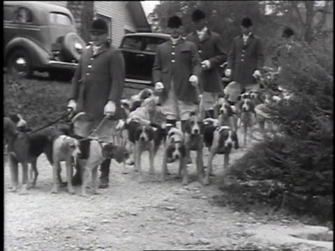 november 4, 1935 ws foxhounds and huntsmen standing then walking along road past line of cars / connecticut, united states - foxhound stock videos & royalty-free footage