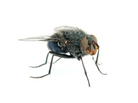 ntsc: fly - stubenfliege stock-videos und b-roll-filmmaterial