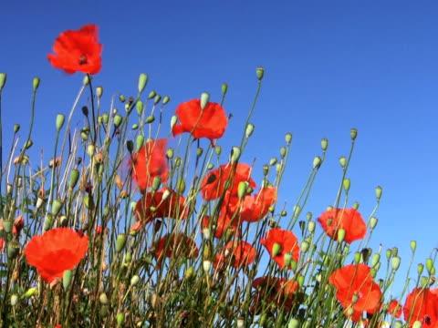 stockvideo's en b-roll-footage met ntsc:poppies - plant attribute