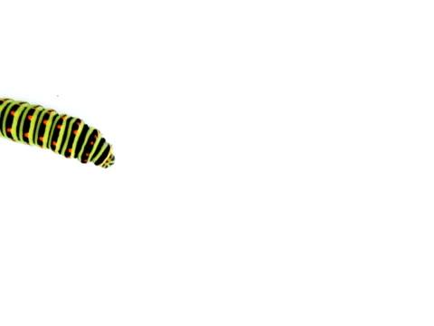 NTSC:Swallowtail caterpillar isolated on white.