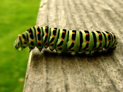ntsc:swallowtail caterpillar isolated on white. - caterpillar stock videos & royalty-free footage