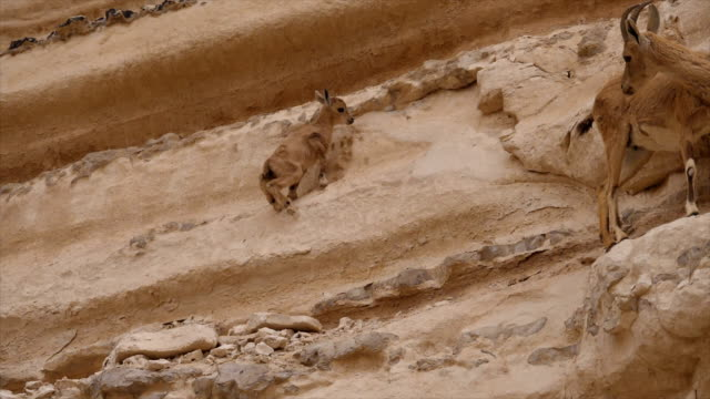 nubian ibex kid (capra nubiana) climbing on rocks, hanging on cliff edge / ein avdat, negev desert, israel - cliff dwelling stock videos & royalty-free footage