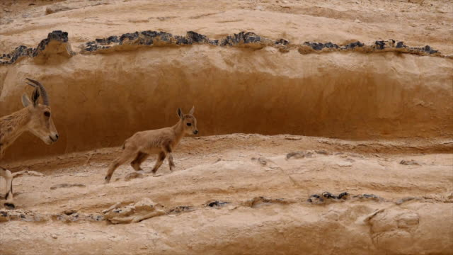 nubian ibex kid (capra nubiana) climbing on rocks, hanging on cliff edge / ein avdat, negev desert, israel - israel stock videos & royalty-free footage